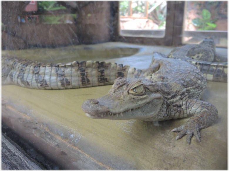 крокодилы на ферме в анапе фото 2