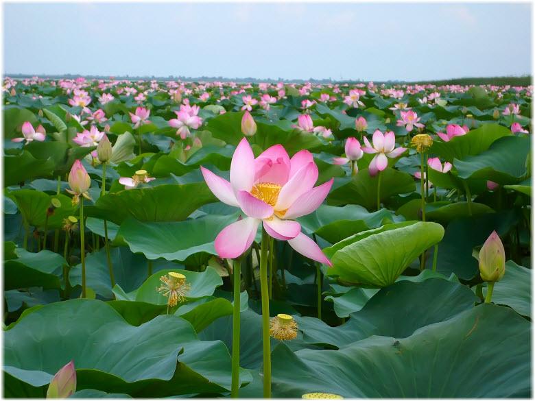 Как цветут лотосы возле Анапы