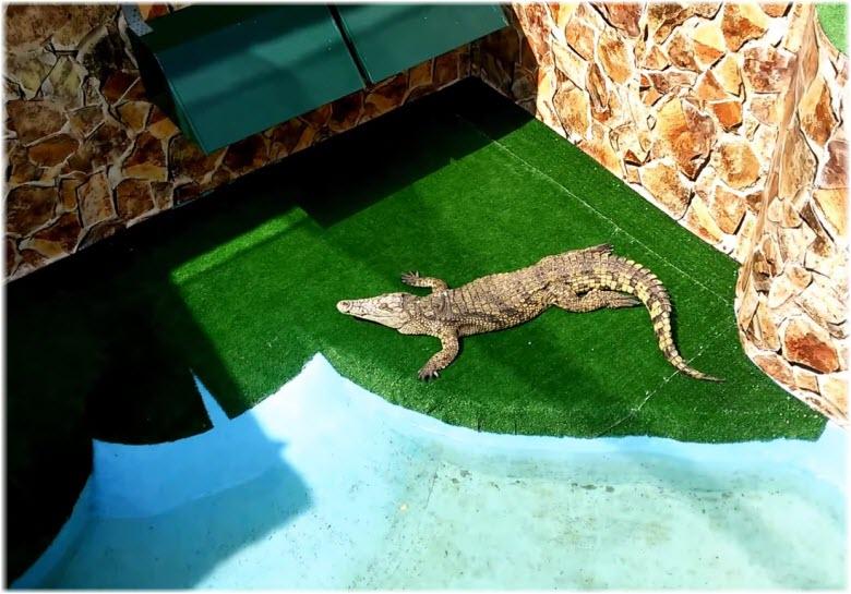Сиамский крокодил в Крокодиловом каньоне