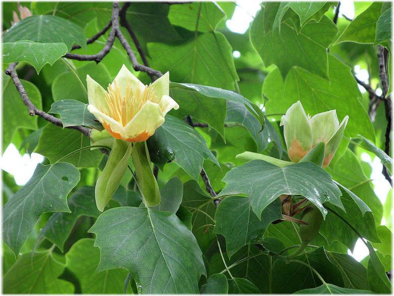 как цветет Тюльпанное дерево