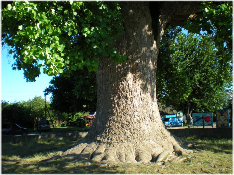 ствол Тюльпанного дерева