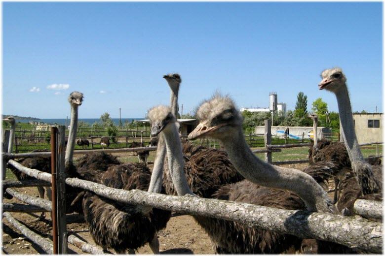 Страусиная ферма в Анапе