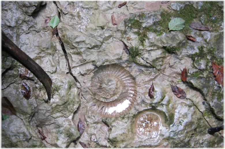 фото окаменелых аммонитов