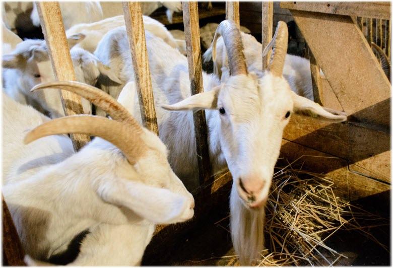 козы на экоферме Экзархо