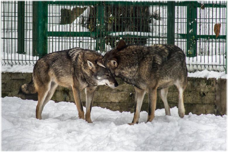 фото волков в вольерах