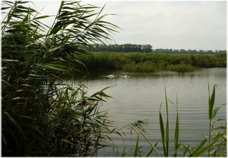 лебеди на реке Бейсуг