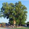Тюльпановое дерево в Сочи