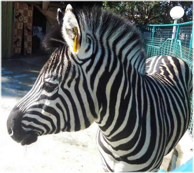 зебра в зоопарке Октябрьский