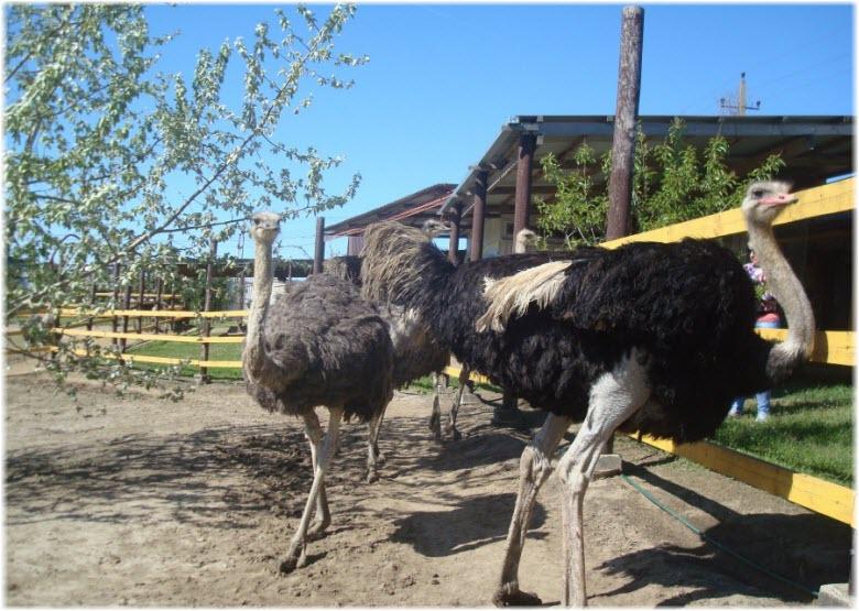 фото страусов в Анапе