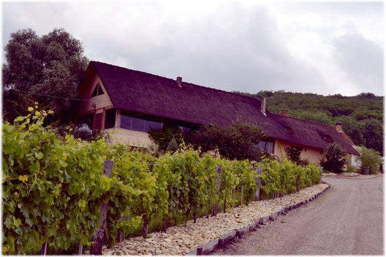фото виноградников в Семигорье