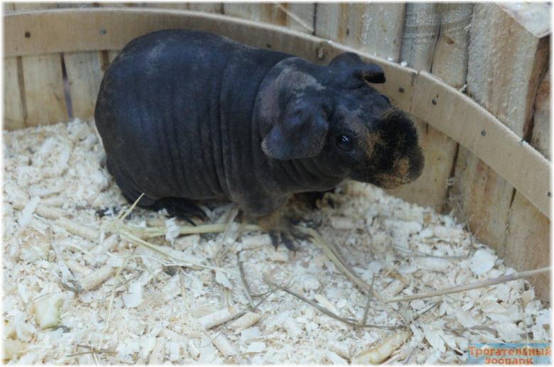 морские свинки в зоопарке